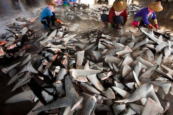 زعانف سمك القرش
