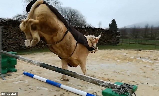ثور فرنساوى رشيق ينافس حصان فى قفز الحواجز (2)