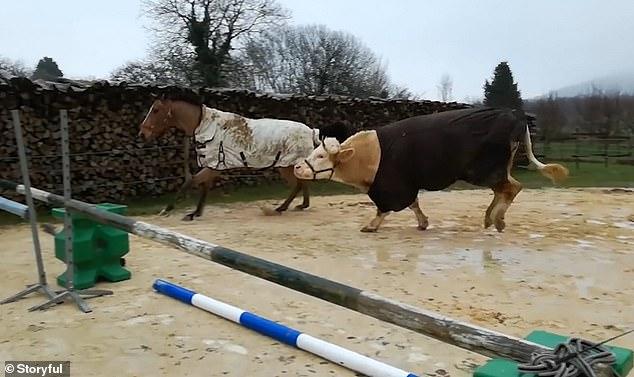 ثور فرنساوى رشيق ينافس حصان فى قفز الحواجز (1)