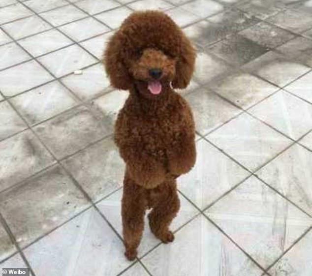 كلب من نوع بدول
