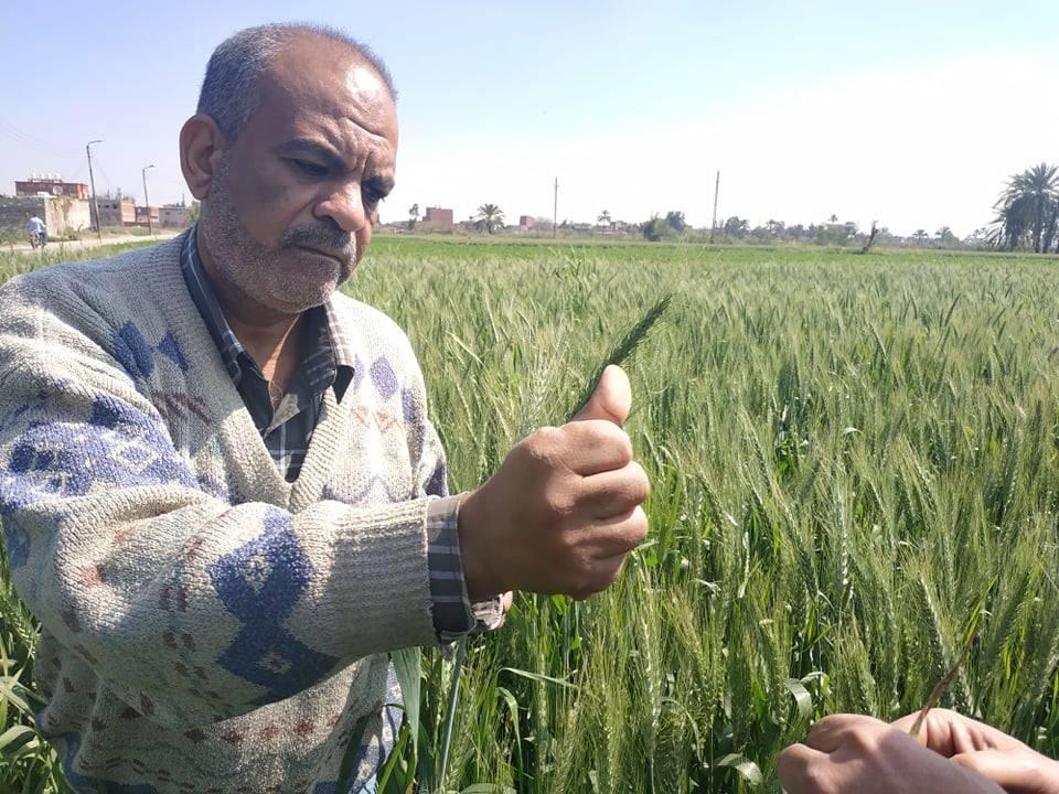 4- مدير المكافحة يفحص أحد حقول القمح