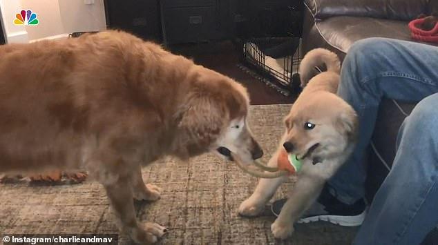 جرو صغير يساعد كلب أعمى على اللعب والمشى .. أعرف القصة؟  (5)