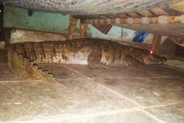 التمساح أسفل السرير