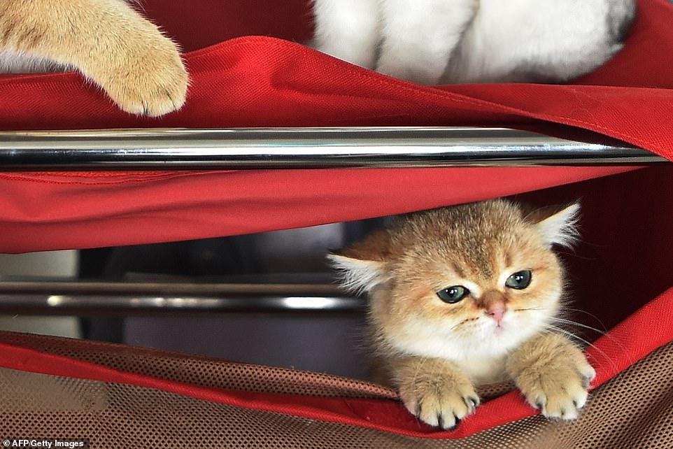 القطط المشاركة فى المهرجان  (6)