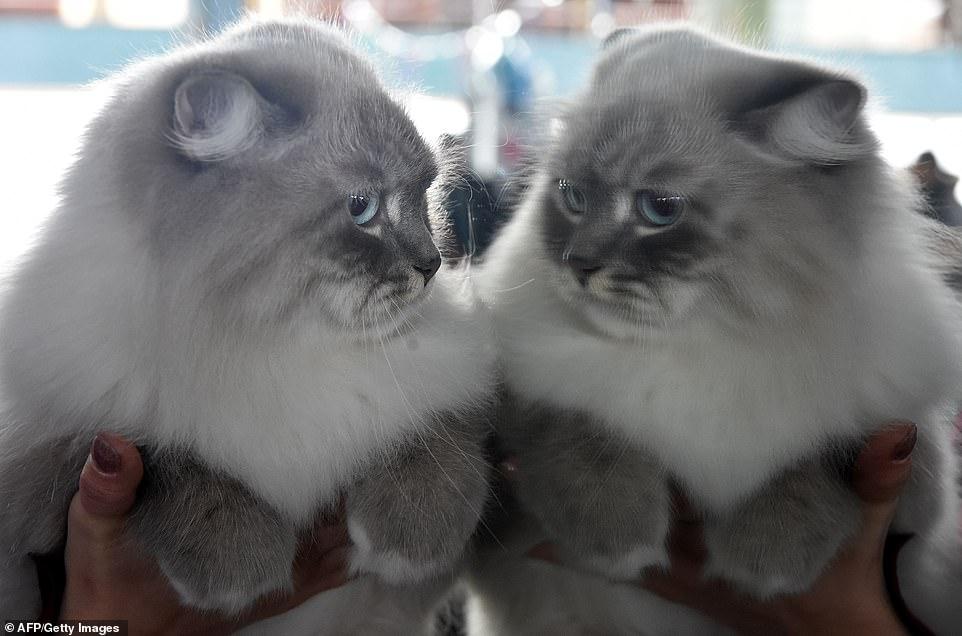 القطط المشاركة فى المهرجان  (9)
