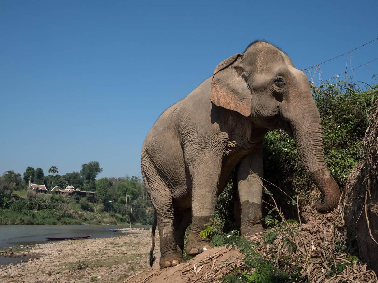 الفيل ظل يعيش وحيدا ومنعزلا حتى وفاته
