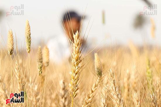 القمح (29)