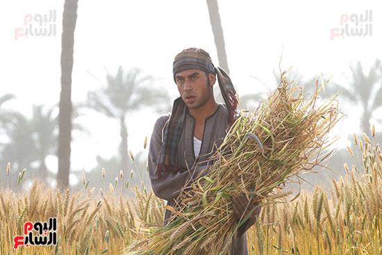 القمح (7)
