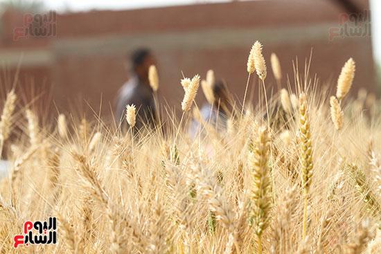 القمح (25)