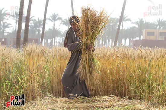 القمح (5)