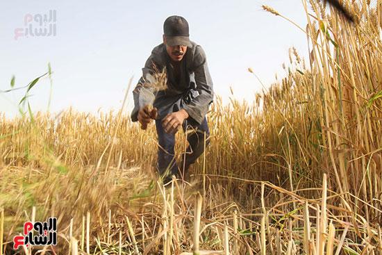 القمح (1)