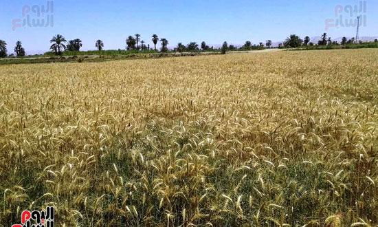 أسوان-على-موعد-مع-عيد-حصاد-القمح-(1)