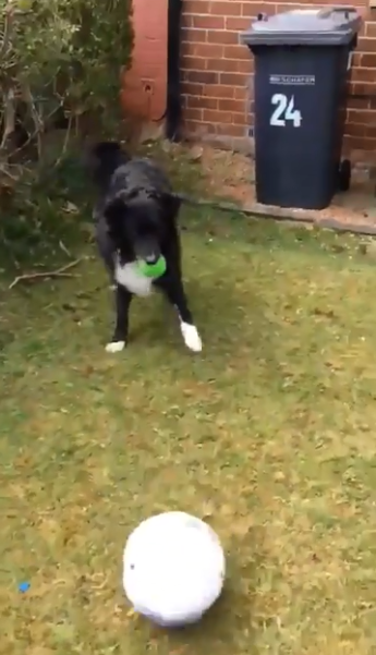 الكلب رونالدوج