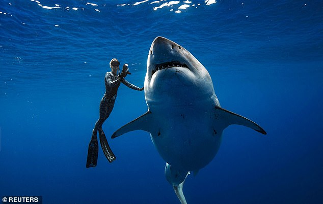 8640754-6950051-Ocean_Ramsey_swimming_with_Deep_Blue_in_photos_shot_by_Juan_Olip-a-10_1556015239340