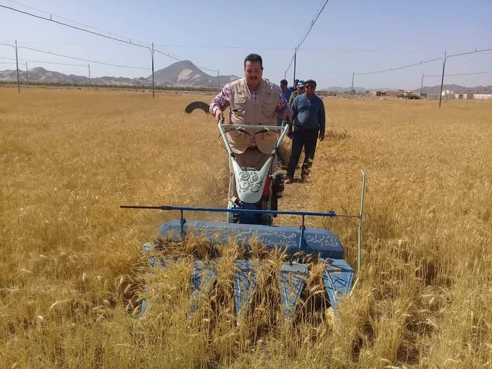 حصاد محصول القمح بحلايب وشلاتين (8)