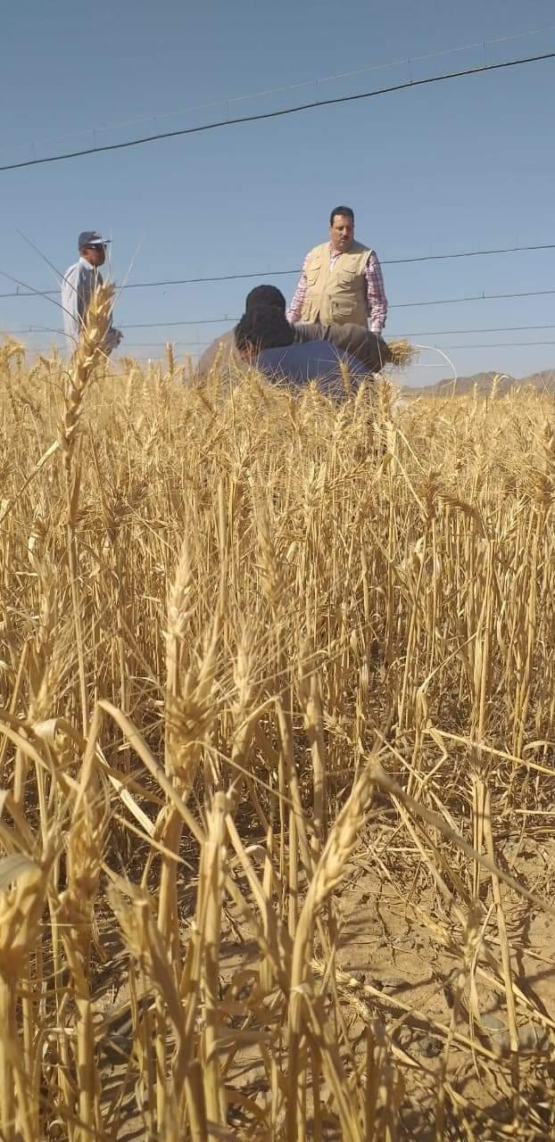 حصاد محصول القمح بحلايب وشلاتين (4)