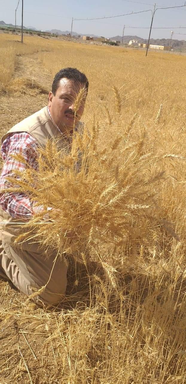 حصاد محصول القمح بحلايب وشلاتين (2)