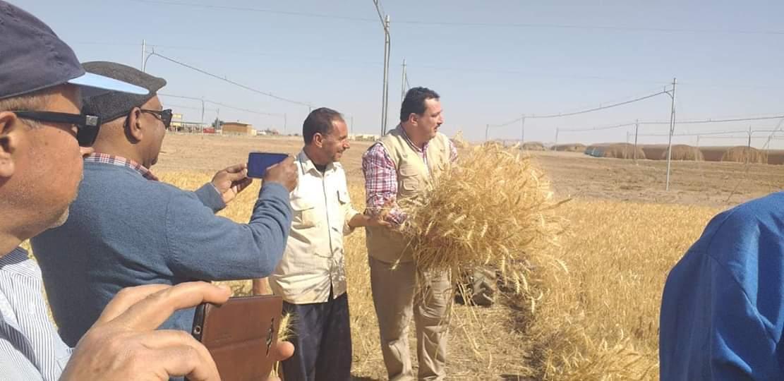 حصاد محصول القمح بحلايب وشلاتين (6)