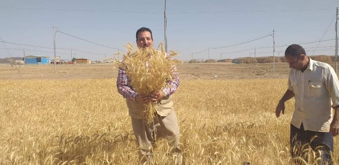 حصاد محصول القمح بحلايب وشلاتين (1)