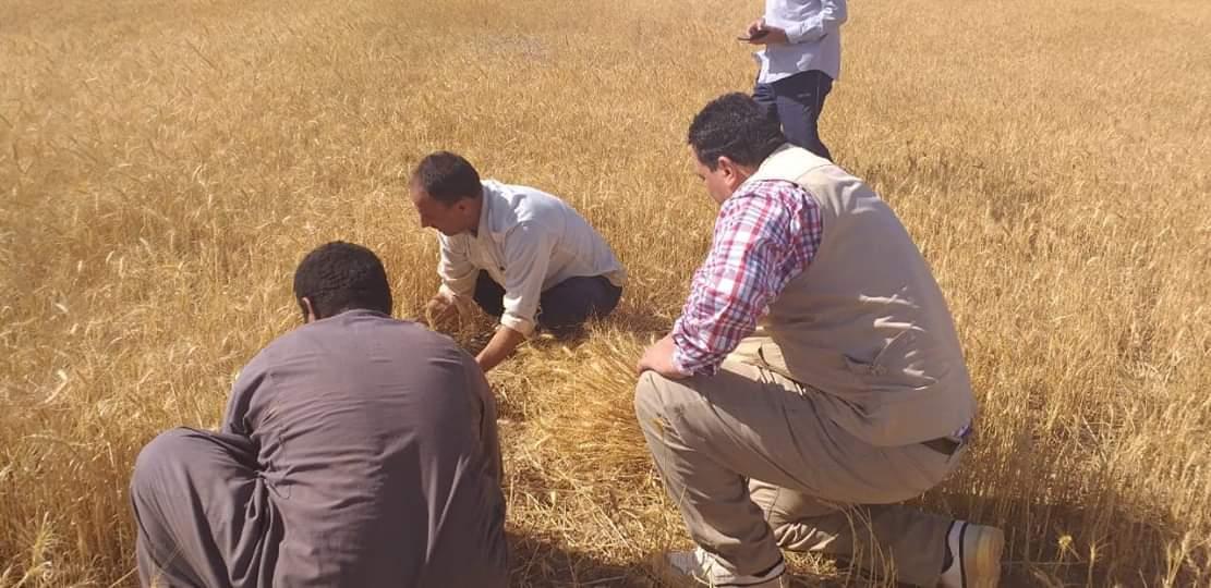 حصاد محصول القمح بحلايب وشلاتين (5)