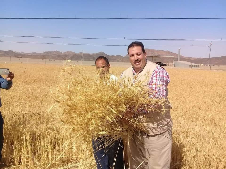 حصاد محصول القمح بحلايب وشلاتين (9)