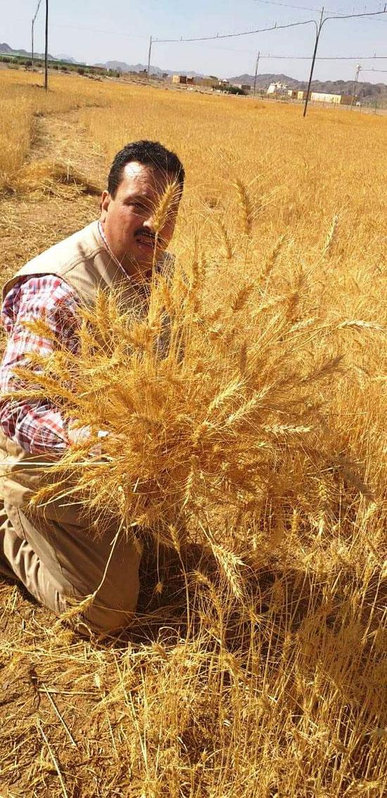 حصاد أول زراعة لمحصول القمح والشعير (8)