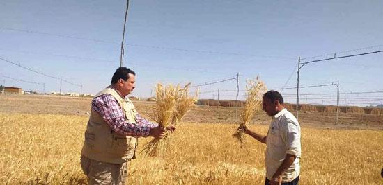 حصاد أول زراعة لمحصول القمح والشعير (12)