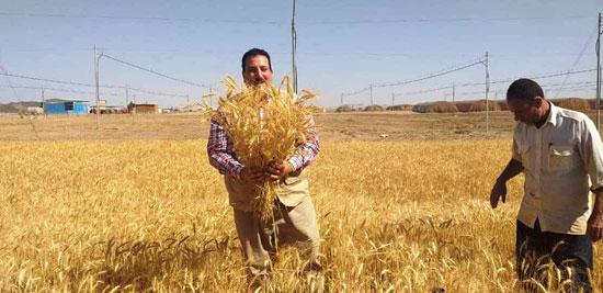 حصاد أول زراعة لمحصول القمح والشعير (7)