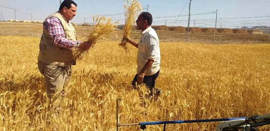 حصاد أول زراعة لمحصول القمح والشعير (11)