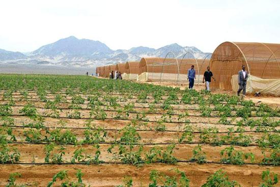 حصاد أول زراعة لمحصول القمح والشعير (6)