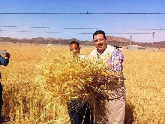 حصاد أول زراعة لمحصول القمح والشعير (14)