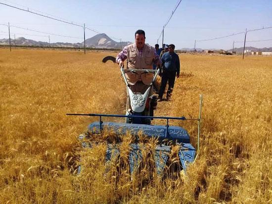 حصاد أول زراعة لمحصول القمح والشعير (13)