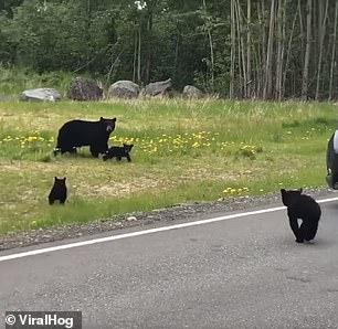 الدببه تعبر الطريق بحذر  (3)