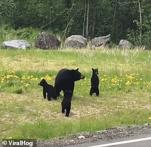 الدببه تعبر الطريق بحذر  (2)