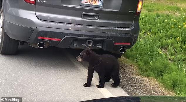 الدببه تعبر الطريق بحذر  (1)