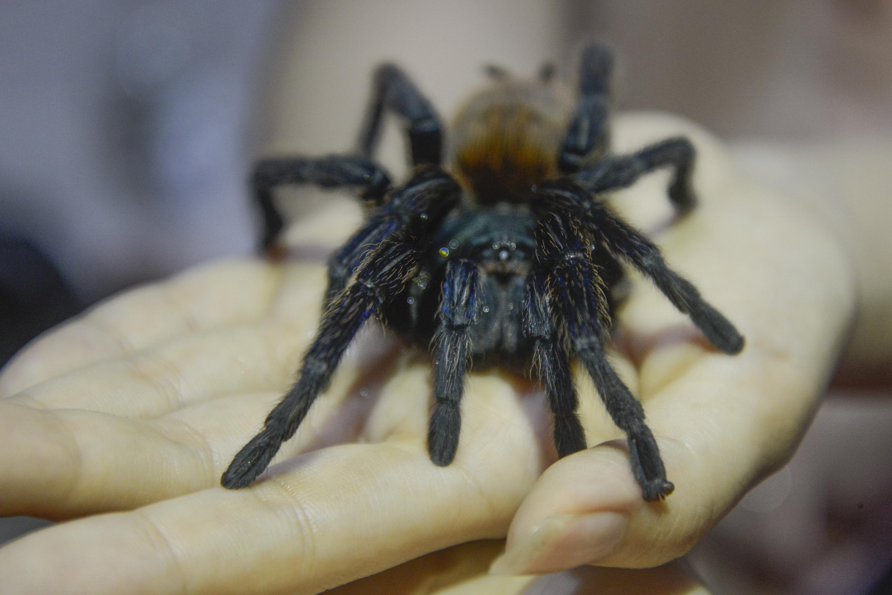 زوج يشترى عنكبوت من أجل تخويف حماته