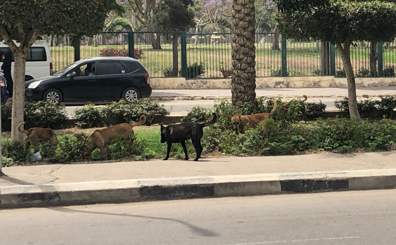 الكلاب الضالة بمدينة نصر
