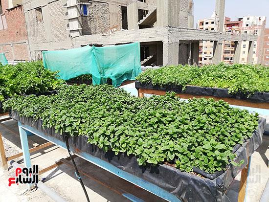 زراعة الأسطح بالقاهرة حل سحرى لمشاكل التلوث  (10)