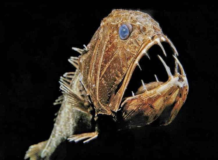 سمكة الناب