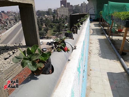 زراعة الأسطح بالقاهرة حل سحرى لمشاكل التلوث  (8)