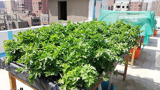 زراعة الأسطح بالقاهرة حل سحرى لمشاكل التلوث  (4)