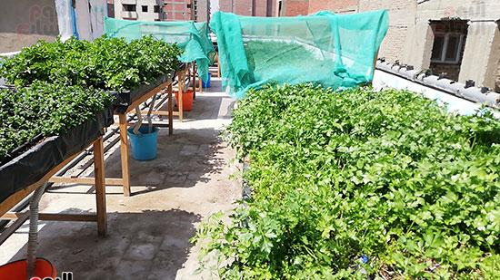 زراعة الأسطح بالقاهرة حل سحرى لمشاكل التلوث  (3)