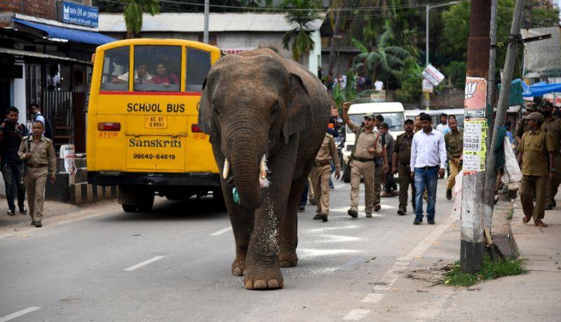 الفيل يتجول وسط ذهول المارة