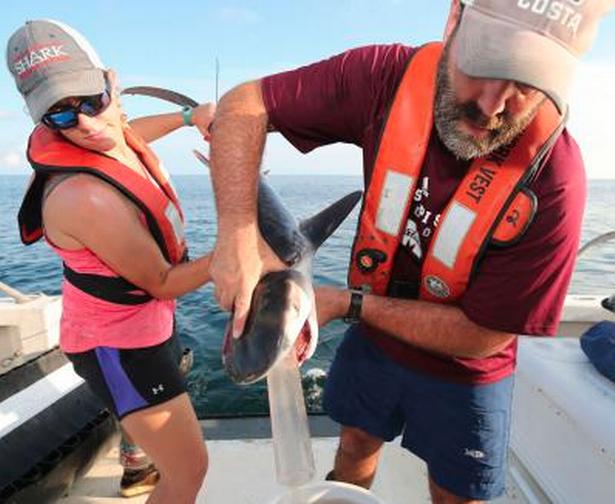 """دراسة حديثة تكشف عن وجود فريسة جديدة لصغار  """"القرش الببرى"""""""