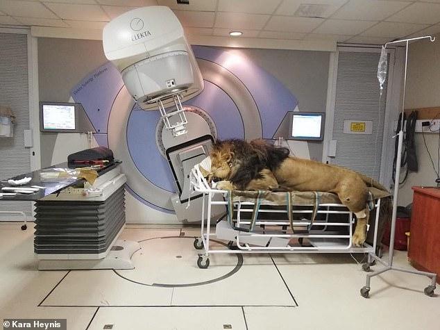 أسد يتلقى العلاج الإشعاعى بعد إصابته بالسرطان فى جنوب إفريقيا (1)