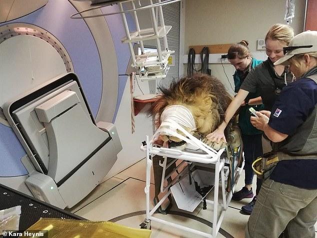 أسد يتلقى العلاج الإشعاعى بعد إصابته بالسرطان فى جنوب إفريقيا (2)