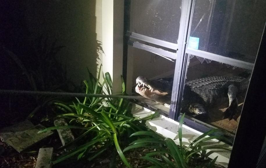 تمساح يقتحم منزلا من نافذة زجاجية (4)