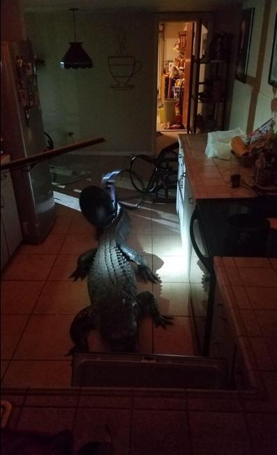 تمساح يقتحم منزلا من نافذة زجاجية (2)
