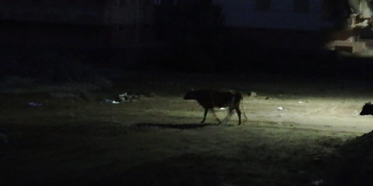الكلاب الضالة برأس البر