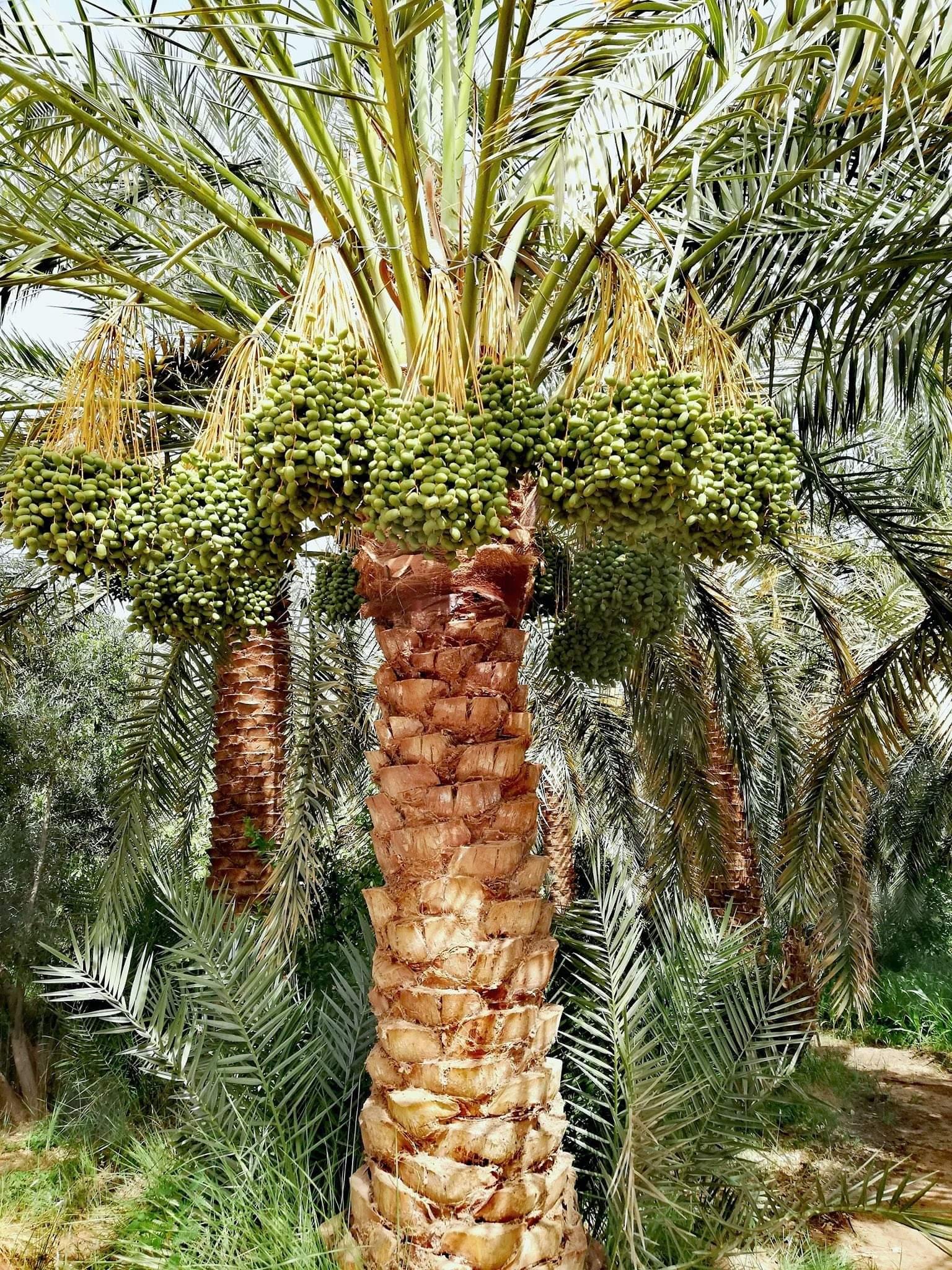 زراعة النخيل بالوادى الجديد (2)